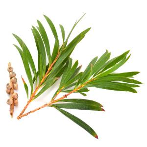 huile essentielle de tea tree centella