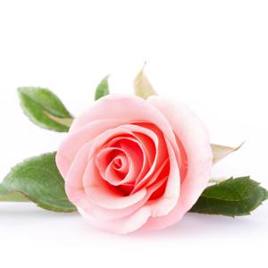 Rose de Damas bio Centella cosmétiques naturels et biologiques