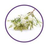 Huile Essentielle de tea tree arbre à thé mélaleuca boutons imperfections hydraflore iripur