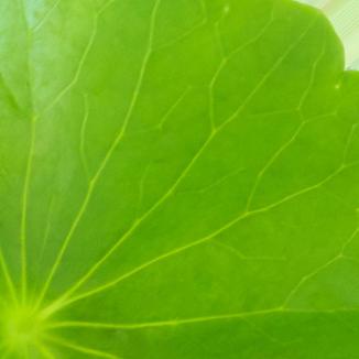 centella asiatica herbe à tigre gotu kola