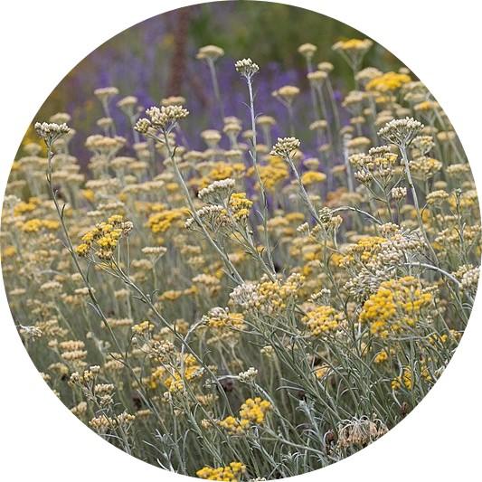 eau florale immortelle hélichryse italienne