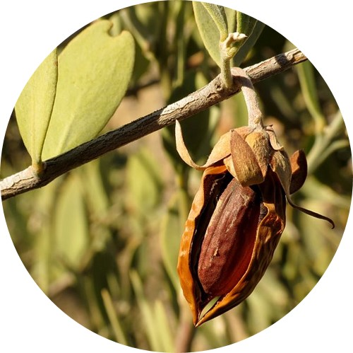 huile végétale jojoba